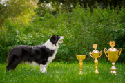 Czech border collie's club Champion